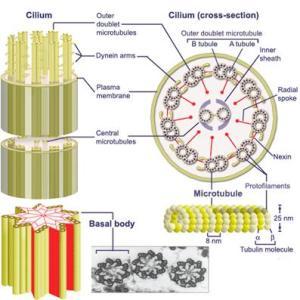 cilium-structure